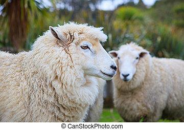 zealand, sheep, ganado, granja, arriba, cara, nuevo, cierre,...