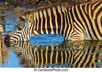 zebra, água bebida, reflexões
