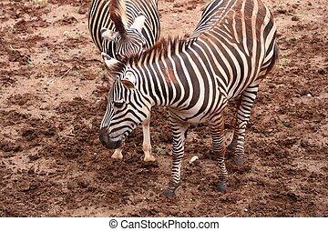 zebra, ζωολογικός κήπος