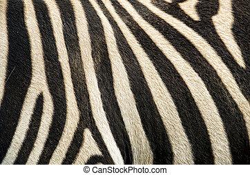 zebra, πρότυπο