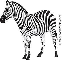 zebra., ベクトル, illustration.