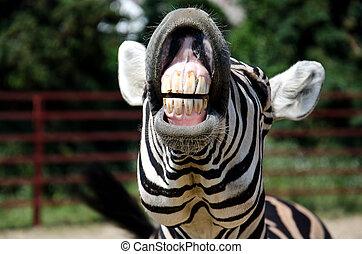 zebra, 微笑
