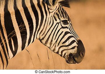 Zebra #10 - Zebra grazing in the veldt – Rietvlei, South...