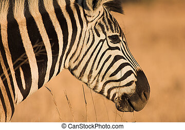 Zebra #10 - Zebra grazing in the veldt – Rietvlei, South...