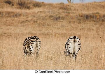 Zebra #8 - Zebra grazing in the veldt – Rietvlei, South...