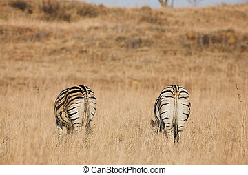 Zebra #8 - Zebra grazing in the veldt – Rietvlei, South...