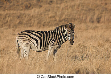 zebra, #9