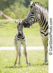 Zebra - A mother zebra taking care of her baby