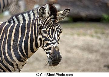 Zebra, a portrait in a clearing