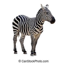 Zebra - A strip of black, a strip of white - zebra in a zoo...