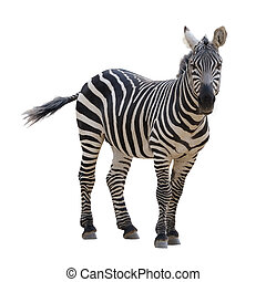 A strip of black, a strip of white - zebra in a zoo, isolated.