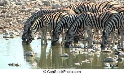 Zebra at the waterhole in Etosha National Park, Namibia,...