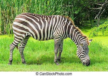 zebra, auf, der, ebenen, in, der, zoo