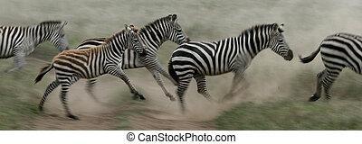 zebra, běh, -, serengeti, safari, tanzania, afrika