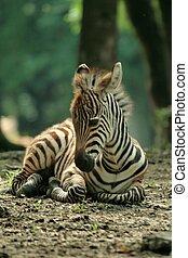 Zebra baby - young zebra