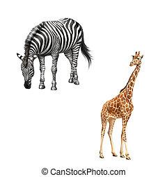 zebra bent down eating grass, Beautiful adult Giraffe...