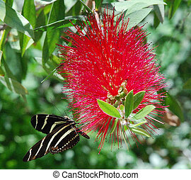 Zebra Butterfly and Bottle Brush