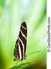 zebra butterfly (lat. heliconius charitonius)