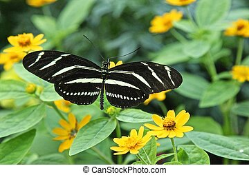 Zebra butterfly - Zebra Longwing5 Butterfly, the butterfly...