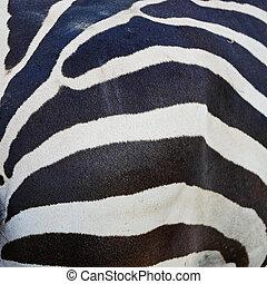zebra, commun, peau