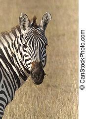 zebra, commun