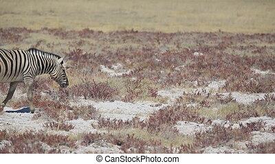 Zebra crossing - Single zebra crossing left to right in the...
