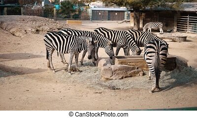 Zebra crowd living in safari zoo