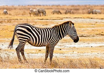 zebra, dier, wandelende, in, de, serengeti