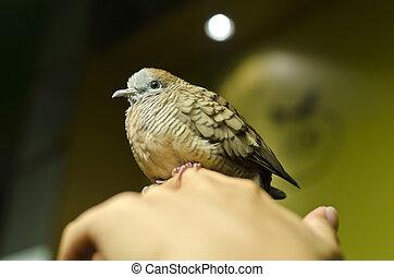 Zebra Dove bird on a hand, scientific name is Geopelia striata striara.