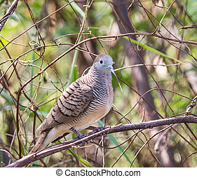zebra dove (Geopelia striata) Javan dove with gray hairs, gray head. The color of the head is blue. The side of the neck is black with alternating white stripes across the strip. Dark back with a dash Faint stomach Under the body is white with a small diagonal. The tail end of the white tail feathers. Size is not larger than 8-9 inches.
