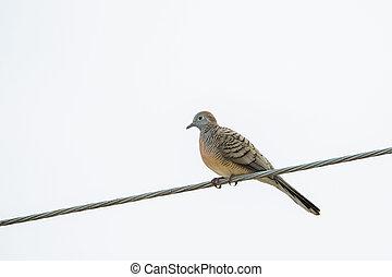 Zebra Dove, known as barred ground dovo bird perching on ...