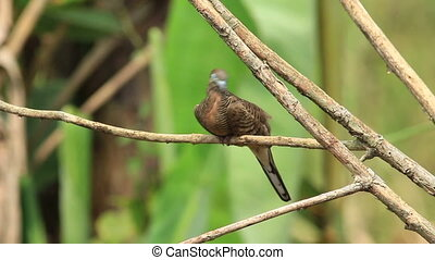 Zebra Dove Preening - Zebra dove bird seen preening on a...