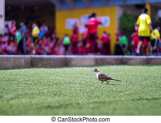 Dove walks on the lawn of artificial grass