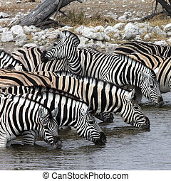 Zebra Drinking - Namibia