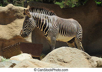 zebra eating - a zebra was standing in a food bucket and ...