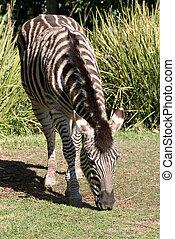 zebra eating grass at adelaide zoo