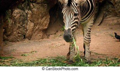 Zebra Eating Plants In Reserve - Zebra eating plants with in...