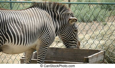 Zebra eats hay before a chain-link fence in a zoo in summer in slow motion