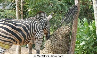 Zebra eats hay