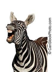zebra, -, elszigetelt, nevető