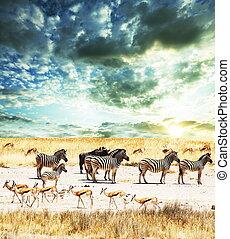 zebra, en, ocaso