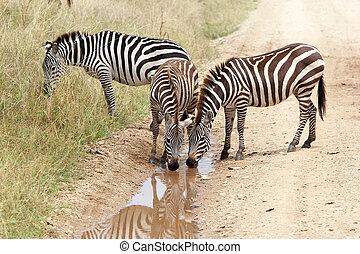 Zebra (Equus burchellii) - Zebras (Equus burchellii) is...