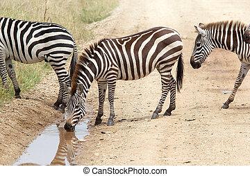 Zebra (Equus burchellii) is drinking in the african savanna