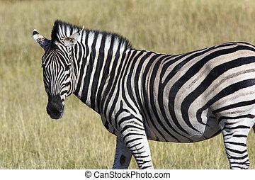 Zebra (Equus quagga) - Botswana - A Zebra (Equus quagga) in...