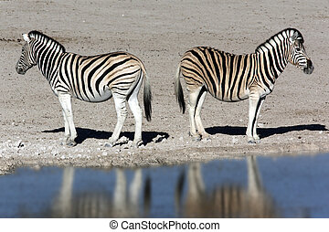 Zebra (Equus quagga) - Namibia - Two young Zebra (Equus...