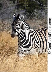 Zebra (Equus quagga) - Namibia - Zebra (Equus quagga) in...
