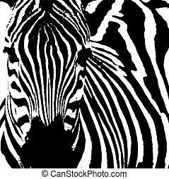 Zebra ( Equus zebra) - Illustration of a zebra