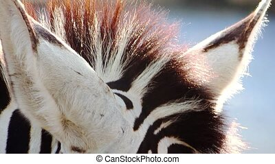 zebra eye close-up - zebra portrait close-up
