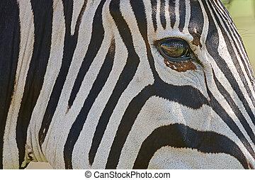 Zebra - Eye on the world