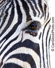 Zebra Eye soft face - Close up a single zebra eye and a...